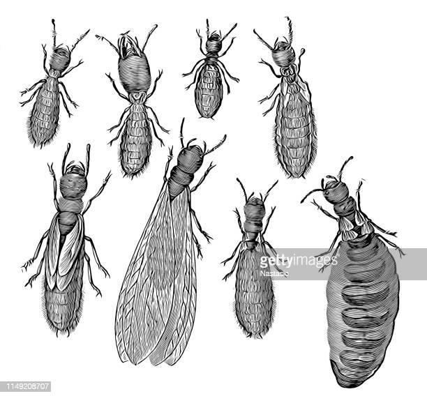 illustrations, cliparts, dessins animés et icônes de système de castes de termites - termite