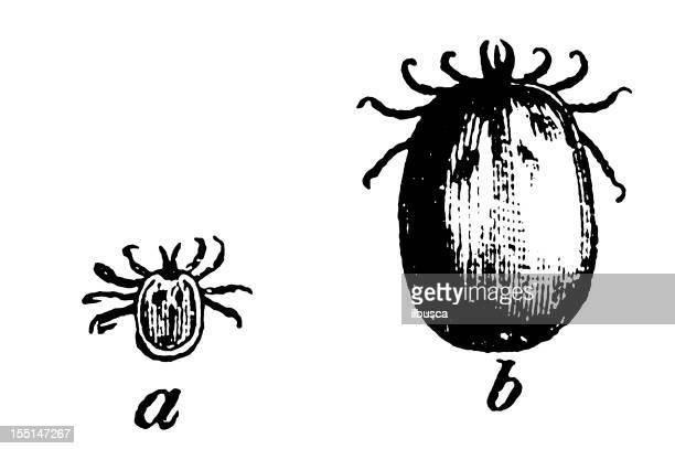castor bean tick (ixodes ricinus) - zoology stock illustrations