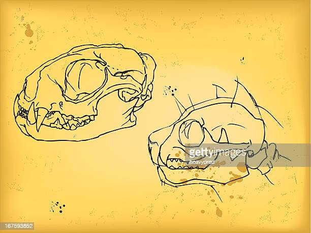 Cat cráneo dibujo
