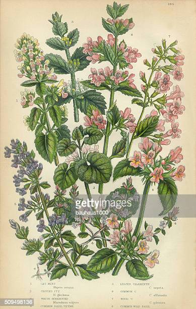 catmint, catnip, ivy, hoarhound, calaminth, thyme, basil, victorian botanical illustration - catmint stock illustrations