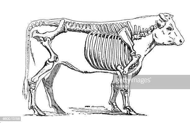 cattle skeleton - animal skeleton stock illustrations, clip art, cartoons, & icons