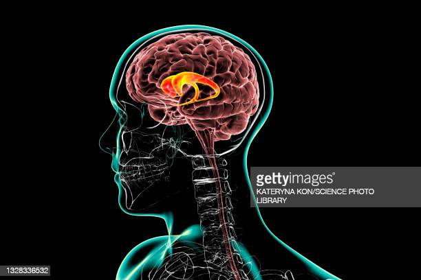 caudate nuclei highlighted in the human brain, illustration - neuropathy stock illustrations