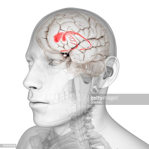 Caudate Nucleus Stock Photos and Pictures | Getty Images