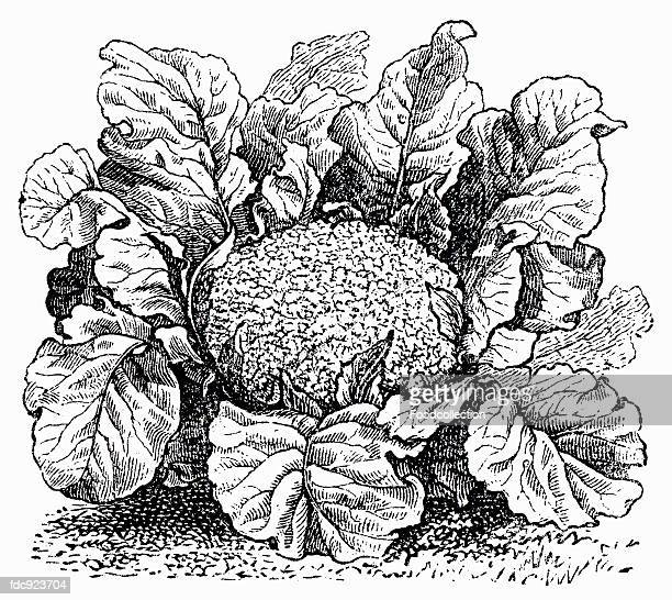 cauliflower (illustration) - brussels sprout stock illustrations, clip art, cartoons, & icons