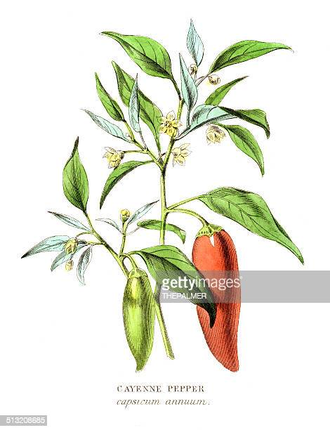 cayenne pepper specie engraving illustration - bell pepper stock illustrations, clip art, cartoons, & icons