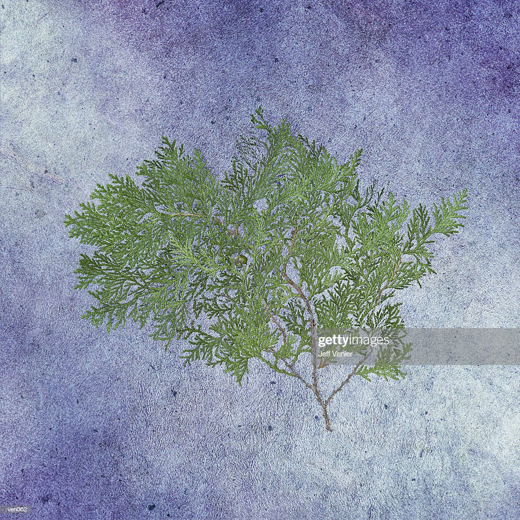 Cedar Branch : Stockillustraties