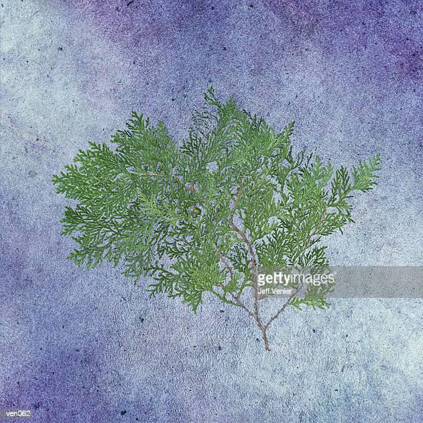 cedar branch - cedar tree stock illustrations, clip art, cartoons, & icons