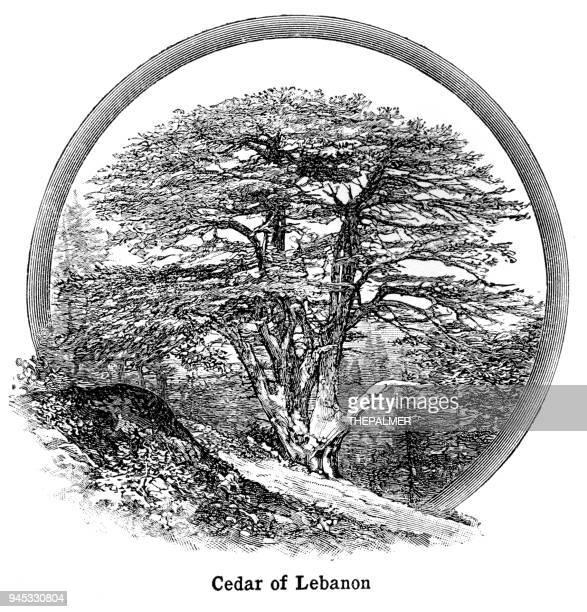 cedar of lebanon engraving 1892 - cedar tree stock illustrations, clip art, cartoons, & icons