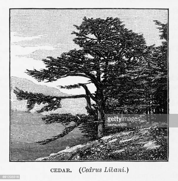 cedar tree, cedrus libani, engraving, 1892 - cedar tree stock illustrations, clip art, cartoons, & icons