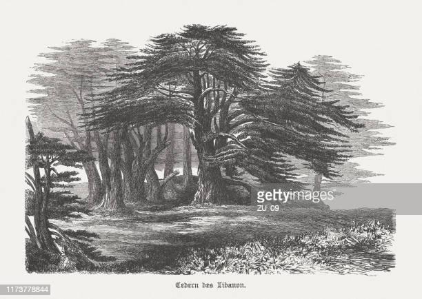cedars (cedrus libani) in lebanon, wood engraving, published in 1894 - cedar tree stock illustrations, clip art, cartoons, & icons