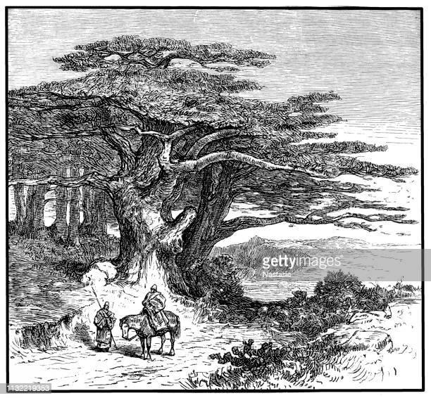 cedrus libani (cedar of lebanon) - cedar tree stock illustrations, clip art, cartoons, & icons