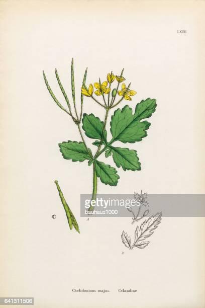 celandine, chelidonium majus, victorian botanical illustration, 1863 - plant stage stock illustrations, clip art, cartoons, & icons