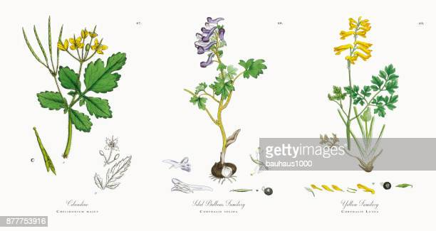 celandine, chelidonium majus, victorian botanical illustration, 1863 - plant bulb stock illustrations, clip art, cartoons, & icons