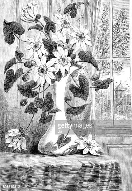 Stinkende gouwe bloemen in een vaas in de buurt van het venster