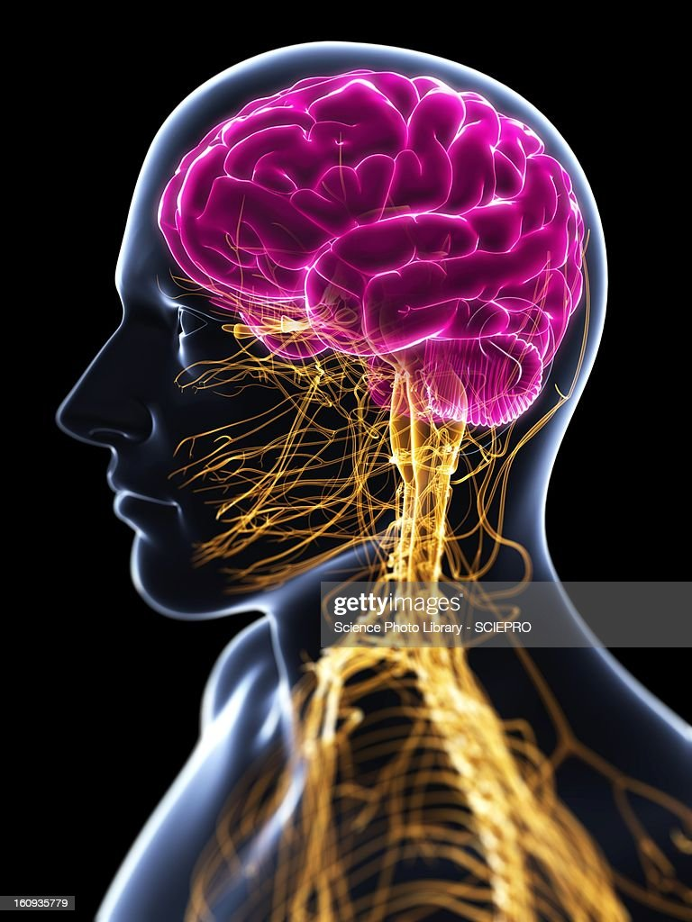 Central Nervous System Stock Illustrations And Cartoons Getty Images