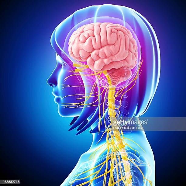 central nervous system, artwork - female likeness stock illustrations