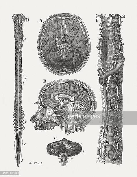 ilustrações de stock, clip art, desenhos animados e ícones de sistema nervoso central humano, publicada em 1884 - sistema nervoso central
