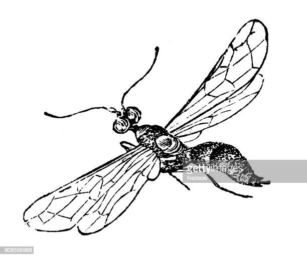 cephus pygmeus (european wheat stem sawfly) - serrated stock illustrations, clip art, cartoons, & icons