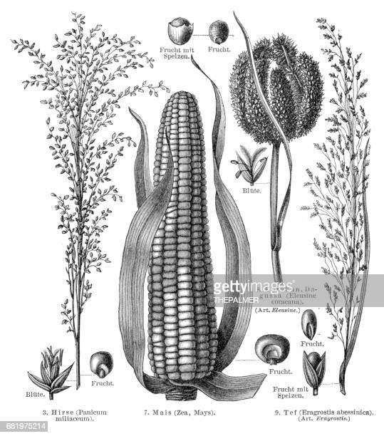 cereal crops engraving 1895 - corn crop stock illustrations, clip art, cartoons, & icons