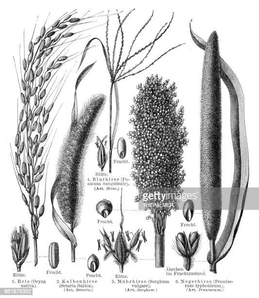 cereal crops engraving 1895 - millet stock illustrations