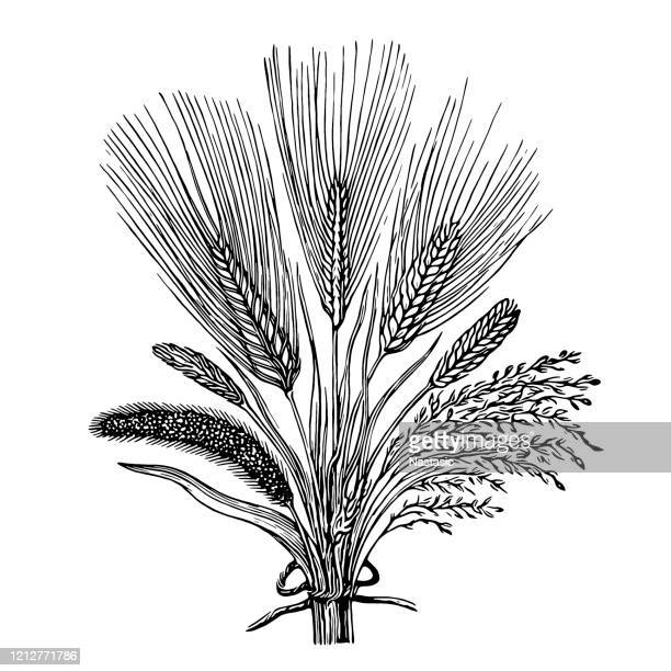 cereal crops - crop plant stock illustrations