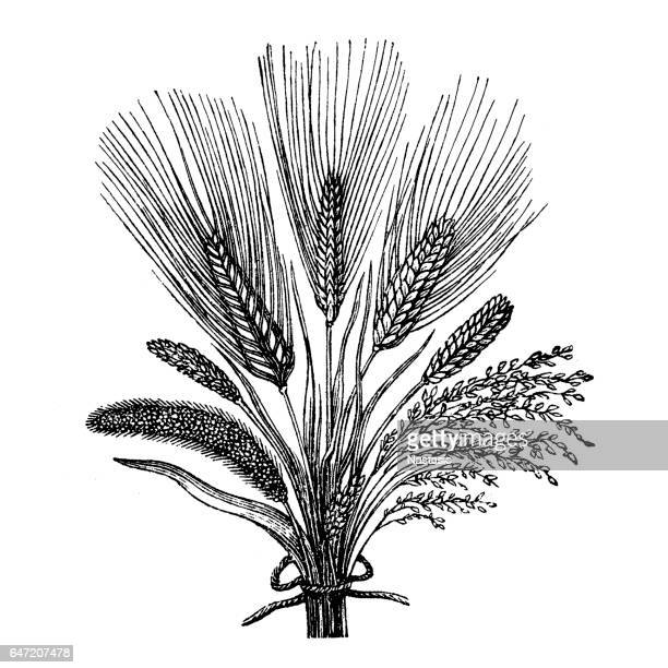 cereal crops - millet stock illustrations