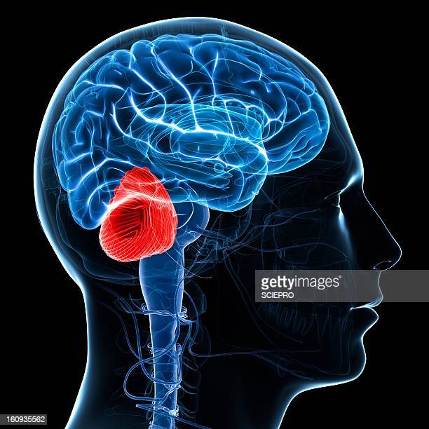 cerebellum, artwork - neuroscience stock illustrations