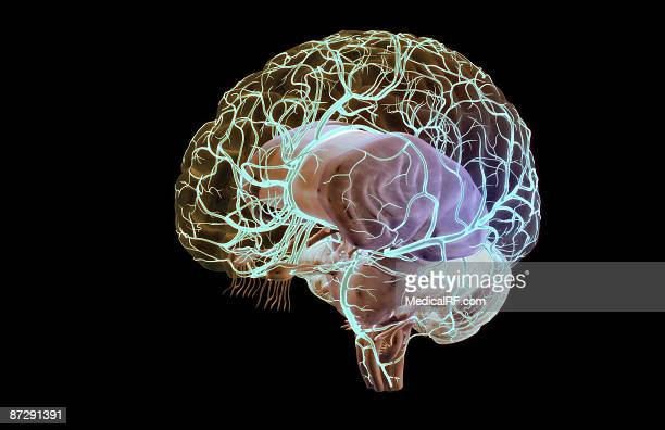 cerebral arteries - cerebral nuclei stock illustrations, clip art, cartoons, & icons