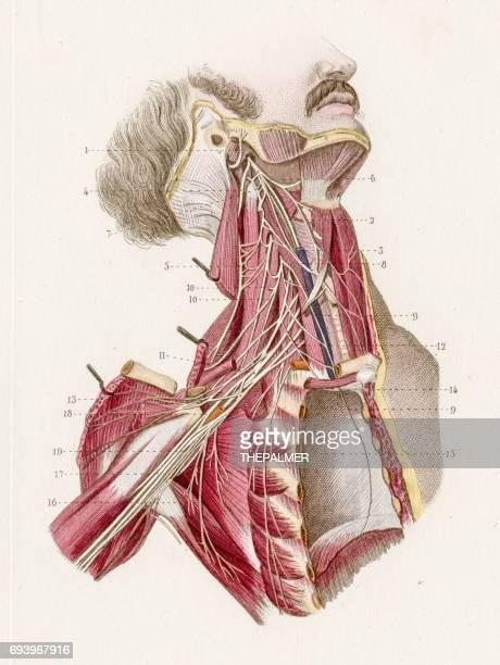 Cervicale brachialis anatomie gravure 1886