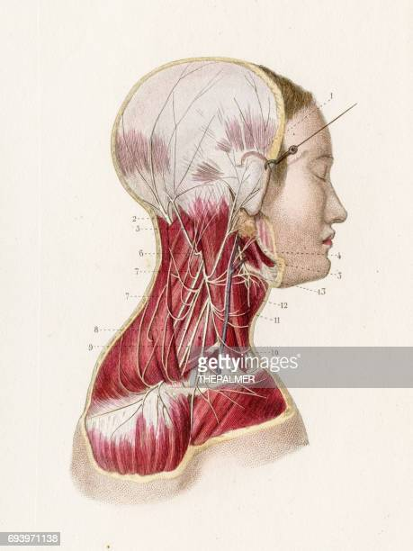 Occipital Lobe Stock Illustrations And Cartoons   Getty Images