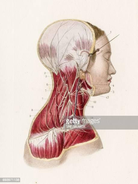 cervical plexus anatomy engraving 1886 - neuropathy stock illustrations, clip art, cartoons, & icons
