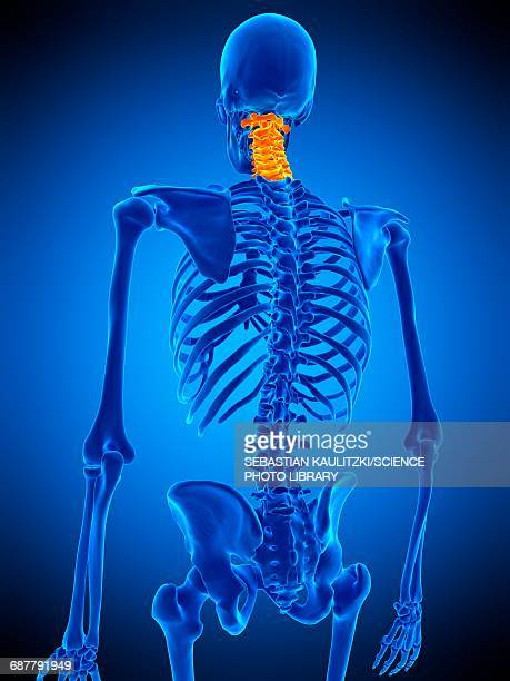 cervical spine, illustration - human vertebra stock illustrations, clip art, cartoons, & icons