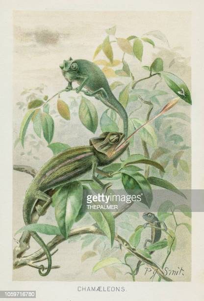 chamaleon chromolithograph 1896 - chameleon stock illustrations, clip art, cartoons, & icons