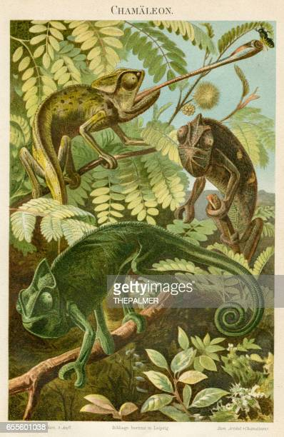 chameleon engraving 1895 - chameleon stock illustrations, clip art, cartoons, & icons