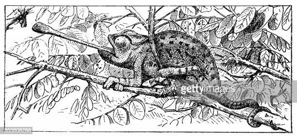 ilustraciones, imágenes clip art, dibujos animados e iconos de stock de camaleón (chamaeleo chamaeleon - camaleón