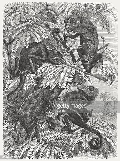 chameleons, wood engraving, published in 1869 - chameleon stock illustrations, clip art, cartoons, & icons
