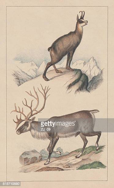 Chamois and reindeer, lithograph, published in 1873