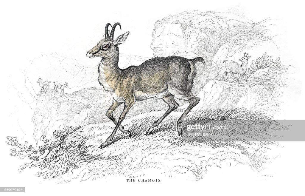 Chamois Goat antelope lithograph 1884 : Stock Illustration