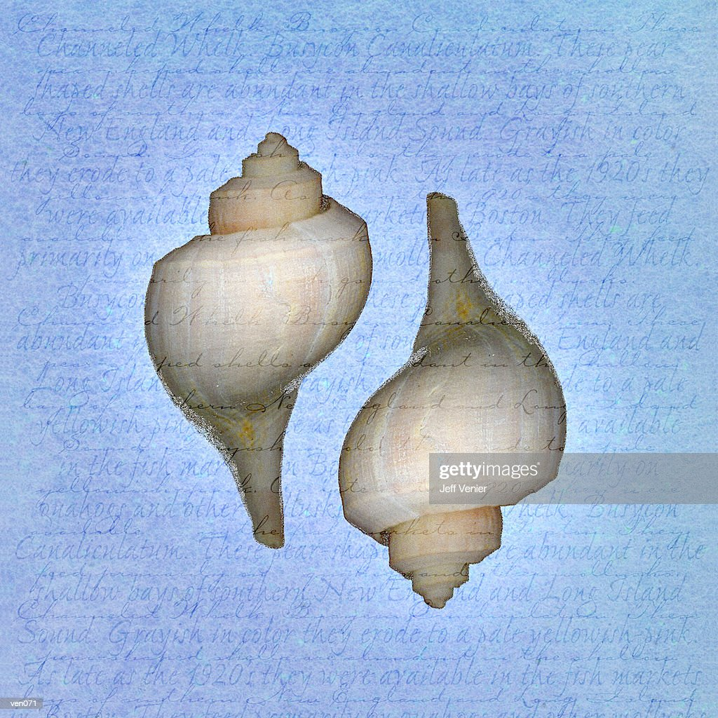 Channeled Whelks on Descriptive Background : ストックイラストレーション