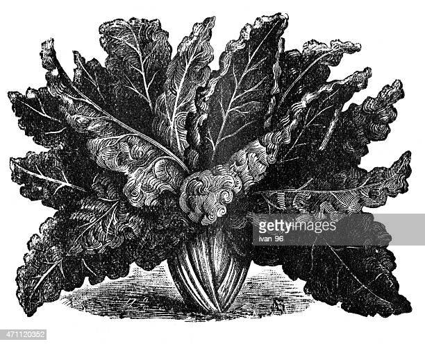 chard - chard stock illustrations, clip art, cartoons, & icons