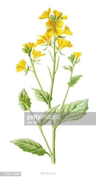 charlock mustard, field mustard, wild mustard, charlock - mustard stock illustrations