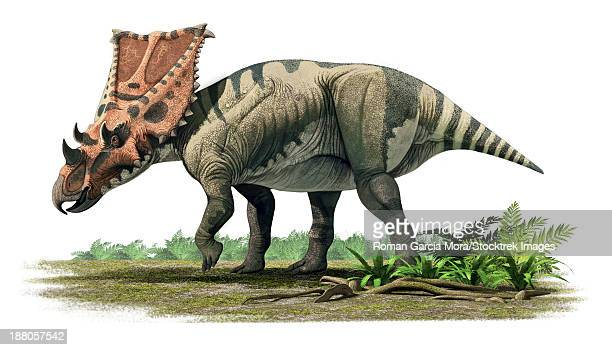 Chasmosaurus belli, a ceratopsian from the Maastrichtian (Late Cretaceous) of North America.