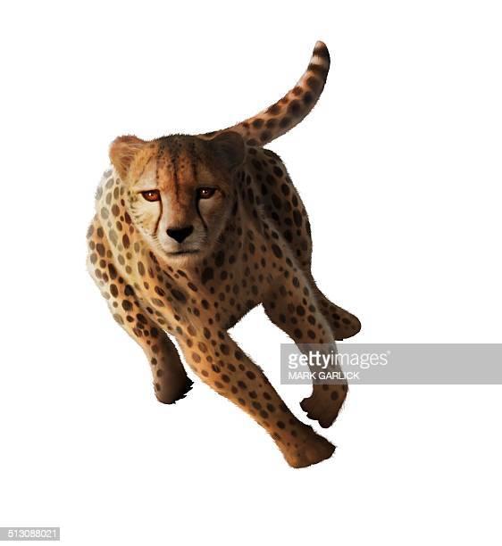 Cheetah, artwork