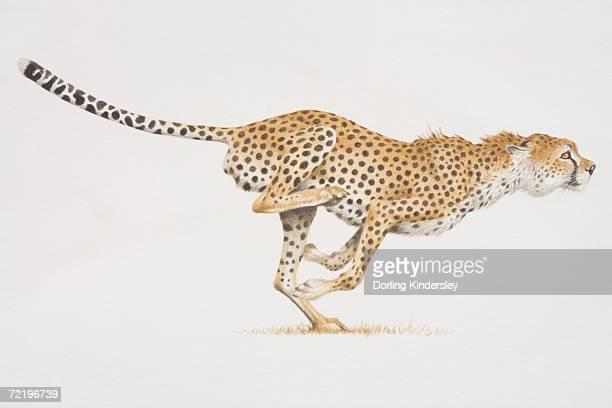Cheetah (acinonyx jubatus) running, side view.