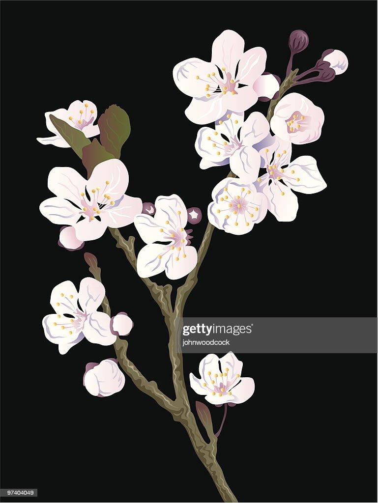 Cherry blossom : stock illustration