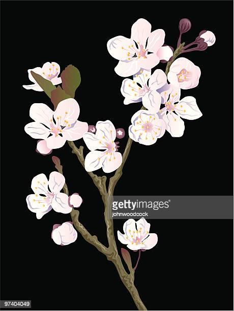 illustrations, cliparts, dessins animés et icônes de fleur de cerisier - cerisier japonais