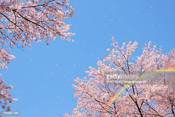 Cherry blossoms and rainbow