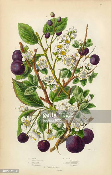 Cherry, Plum, Sloe and Bullace Victorian Botanical Illustration