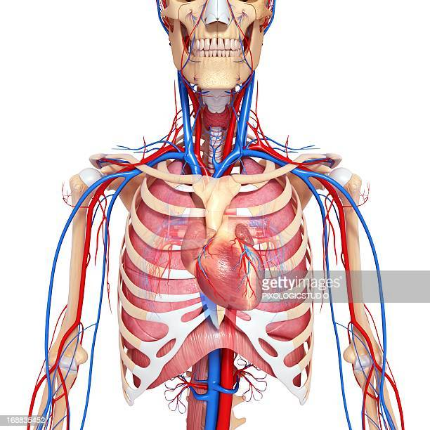Diaphragm Stock Photos And Pictures Getty Images