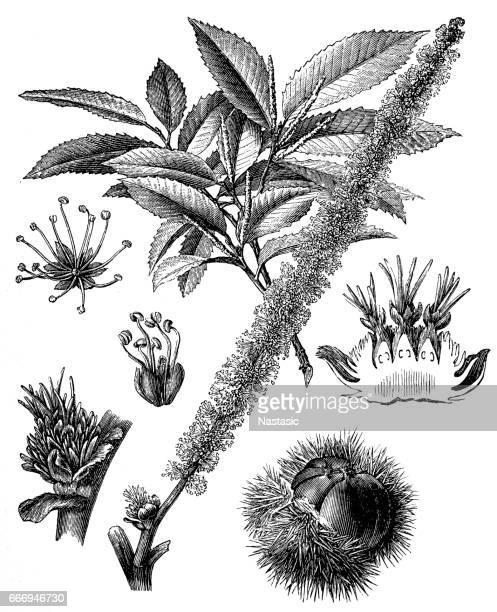 Châtaigne (Castanea vesca)